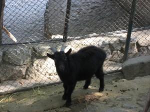 Черный козленок