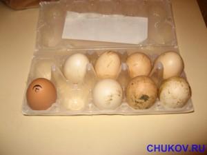 Яйцо слева - магазинное, а остальные - деревенские