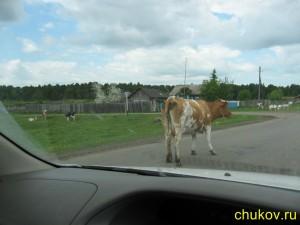 Почти священные животные - коровы, имеют право пастись на дороге