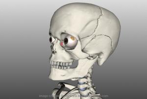 Череп человека с включенным слоем органов зрения